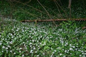 wanneer bloeien anemonen